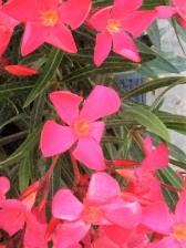 Oleander in the terrace