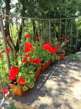 Geraniums at Casa Bacciana