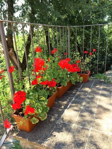 Geraniums at Casa Bacciana